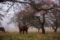 吃草在一个老果树园的母牛 免版税图库摄影