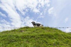 吃草在一个草甸的唯一母牛在一个晴天 免版税库存图片