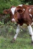 吃草在一个象草的牧场地的公牛(母牛) 免版税库存图片