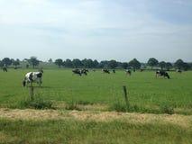 吃草在一个象草的领域的奶牛 免版税库存图片