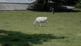 吃草在一个门诺派中的严紧派的领域的母牛 股票视频
