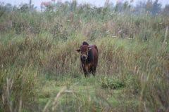 吃草在一个领域的布朗大水牛在会安市在越南,亚洲 图库摄影