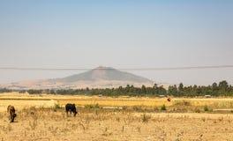 吃草在一个领域的母牛在农村埃塞俄比亚 免版税库存图片