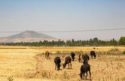 吃草在一个领域的母牛在农村埃塞俄比亚 库存照片
