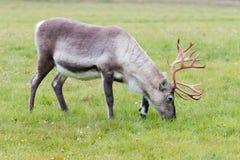 吃草在一个领域的驯鹿在拉普兰 免版税库存照片