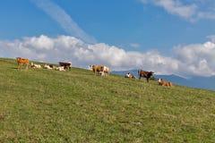 吃草在一个高小山牧场地的母牛牧群  免版税库存图片
