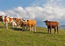吃草在一个高小山牧场地的母牛牧群  图库摄影