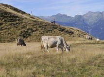 吃草在一个高山牧场地的母牛 免版税库存图片