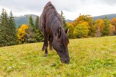吃草在一个高山草甸的美丽的马 免版税库存照片