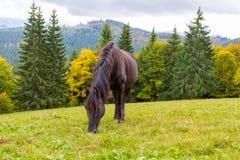 吃草在一个高山草甸的美丽的马 库存图片