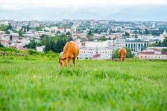 吃草在一个水多的草甸的两头红色母牛 免版税库存照片