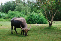 吃草在一个晴天的母牛 免版税库存照片
