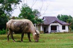 吃草在一个晴天的母牛 库存图片