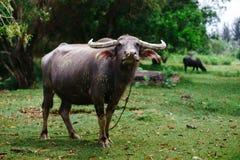 吃草在一个晴天的母牛 库存照片