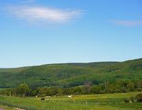 吃草在一个晴朗的夏日的黑母牛 图库摄影