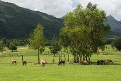 吃草在一个绿色夏天的母牛 免版税图库摄影