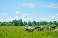 吃草在一个绿色夏天草甸的母牛 免版税库存照片