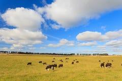 吃草在一个绿色茂盛的牧场的母牛在阿伯丁郡 库存照片