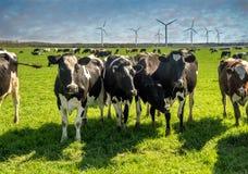 吃草在一个绿色茂盛的牧场的母牛 免版税库存照片