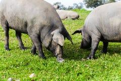 吃草在一个绿色草甸的两头利比亚猪 库存图片