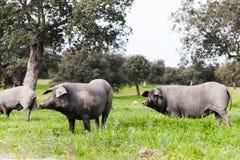 吃草在一个绿色草甸的利比亚猪牧群 免版税图库摄影