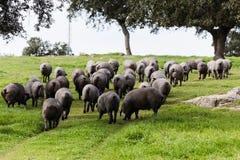 吃草在一个绿色草甸的利比亚猪牧群 库存图片