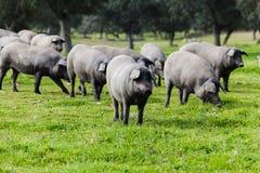 吃草在一个绿色草甸的利比亚猪牧群 免版税库存照片