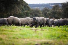 吃草在一个绿色草甸的利比亚猪牧群 免版税库存图片