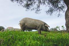 吃草在一个绿色草甸的利比亚猪 免版税库存照片