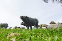 吃草在一个绿色草甸的利比亚猪 库存照片