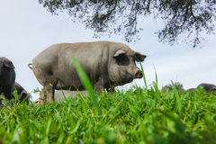吃草在一个绿色草甸的利比亚猪 图库摄影