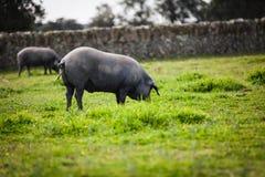 吃草在一个绿色草甸的利比亚猪 免版税图库摄影