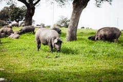 吃草在一个绿色草甸的利比亚猪 库存图片
