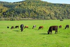 吃草在一个绿色草甸的母牛 库存照片