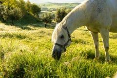 吃草在一个绿色草甸的马 免版税库存图片