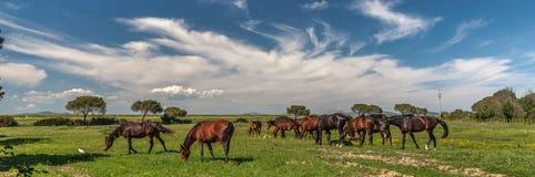 吃草在一个绿色草甸的马 库存图片