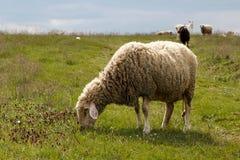 吃草在一个绿色草甸的绵羊 免版税库存照片