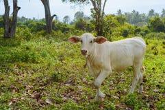 吃草在一个绿色草甸的Calve在晴天 动物农场横向许多sheeeps夏天 免版税图库摄影