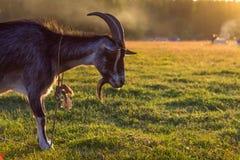吃草在一个绿色领域的日落的黑公山羊 免版税库存图片