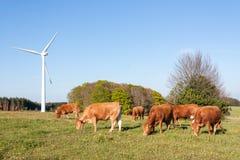 吃草在一台风轮机附近的利姆辛牛在晚上点燃 免版税库存图片
