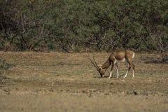 吃草在一块干陆的印度羚 库存照片