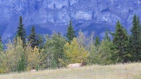 吃草在一块沼地的麋在加拿大人公园  影视素材