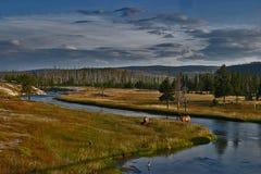 吃草在一条河旁边的两只麋在黄石 免版税库存图片