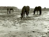 吃草在一条自由冬天狭小通道的马 库存图片