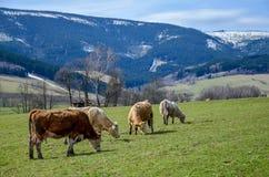 吃草在与后边山的绿草的母牛 免版税库存照片