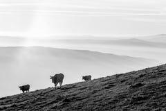 吃草在与在底下雾的一座山的有些母牛 图库摄影