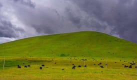 吃草在与山麓小丘的领域的母牛对小山 免版税库存图片