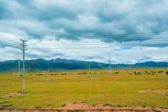 吃草在与山麓小丘的领域的母牛对小山 免版税库存照片
