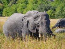 吃草在与树的高河草的大非洲大象公牛在背景,徒步旅行队中在博茨瓦纳 图库摄影