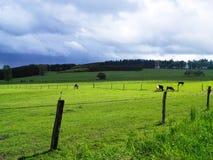 吃草在与母牛和篱芭的乡下风景 绿色gras 库存照片